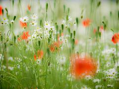 Dreamy (Marc Gommans) Tags: nature field gardens landscape flickr nederland thenetherlands natuur poppy estrellas nights dreamy klaproos landschap 1001 dromerig zd fieldflowers oostrum hennys flickraward olympuse3 marcgommans zuiko50200swd awardtree fotoclubvenray