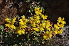 Pacific Sedum (Ron Wolf (...is in the field...)) Tags: flower nature sierra crassulaceae wildflower sedumspathulifolium dutchflat