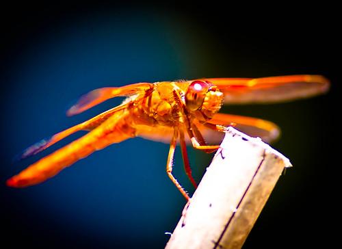 [フリー画像] 動物, 昆虫, トンボ, 201006231700