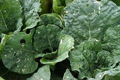 savoy cabbage spots