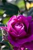 Rose, Intrigue (nekonomania) Tags: rose バラ reddishpurple kyotobotanicalgarden 京都府立植物園