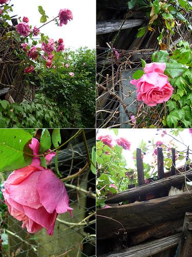 le rose alla baracca