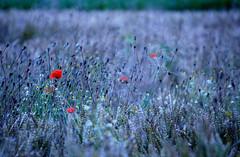 (FedericoGorgoglione) Tags: verde gelo mare estate blu campagna piemonte campo viola rosso azzurro pioggia prato freddo luce vento papaveri grano ghiaccio lavanda spieghe federicogorgoglione
