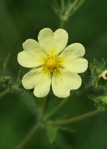 pale yellow weed