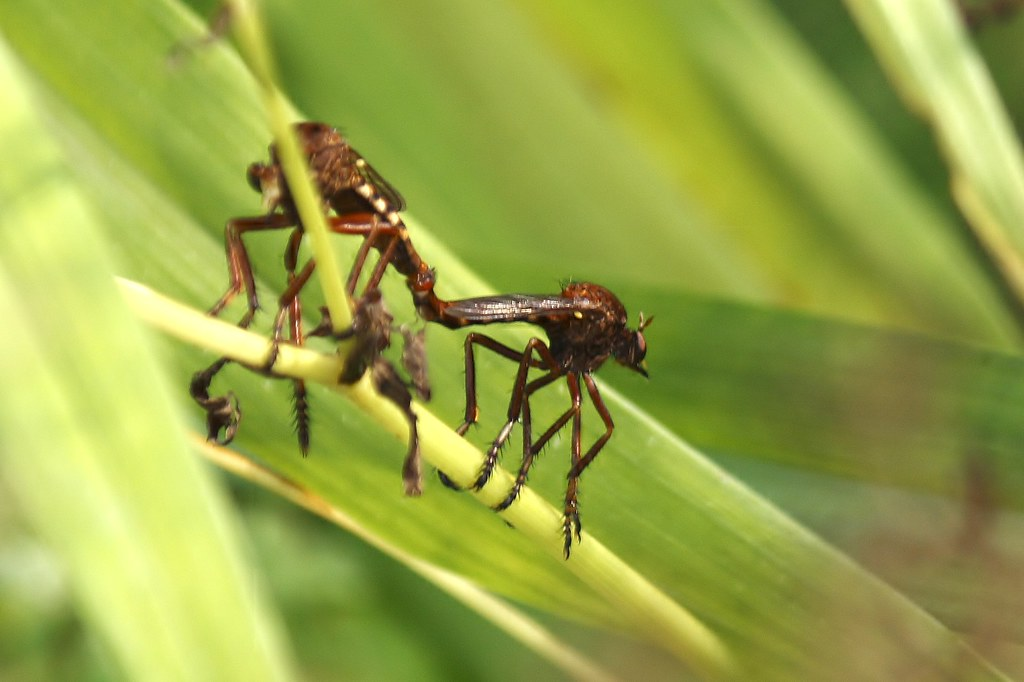 Mating Robber Flies (1)