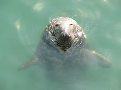 mendicant seal, howth (tartalom) Tags: ireland howth dublin seal grin mendicant howthharbour tartalom christophersweeney