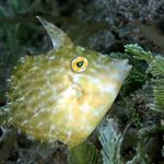 IMG_5479acrre Planehead Filefish (Stephanolepis hispidus) thumbnail
