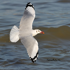 Brown-headed Gull (somchai@2008) Tags: specanimal mywinners brownheadedgull larusbrunnicephalus thewonderfulworldofbirds  qualitygold