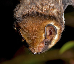 The Hawaiian Hoary Bat