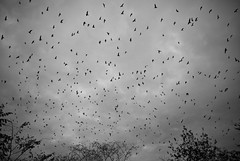 The Birds (David Guidas) Tags: autumn ohio sky bw birds pentax cloudy many ominous flock eerie k200d