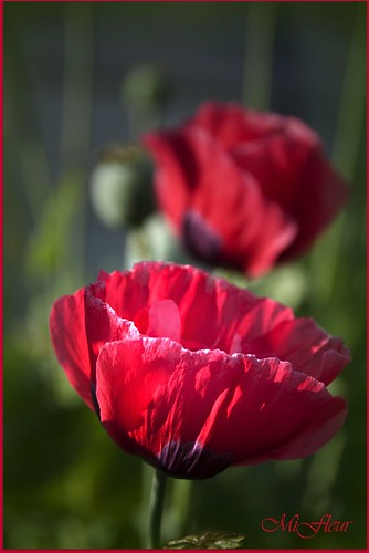 Red Poppy for Remembrance Day :)  Pavot rouge pour la journee de l'Armistice