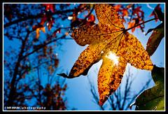 Sunrays through the Sweet Gum Leaf (MR MARK | photography) Tags: autumn camp sun color leaves ga gum georgia leaf ray sweet cleveland retreat mens rays sunrays sunray 2010 stonecreek strongrock