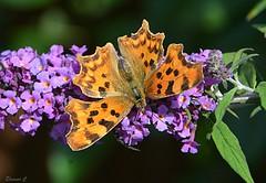 Garden Visitor (Eleanor (No multiple invites please)) Tags: butterfly commabutterfly polygoniacalbum flowers buddlea garden stanmore uk nikond7100 june2017