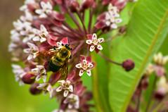 bee (avflinsch) Tags: ifttt 500px nature flower floral tree summer closeup leaf season insect garden bee petal flora honey outdoors wild pollen blooming pollination no person