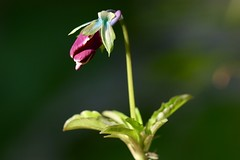 Sun basking pansy (AngharadW) Tags: summertime green bokeh purple speak petal stem dof macro angharadw outdoor plant flower pansy