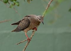 Juvenile Eared Dove --- Zenaida auriculata (creaturesnapper) Tags: ecuador southamerica puembo doves birds juvenile eareddove zenaidaauriculata