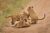 Lions of Maasai Kopjes 449 (Grete Howard) Tags: bestsafarioperator bestsafaricompany africa africansafari africanbush africananimals whichsafaricompany whichsafarioperator tanzania serengeti animals animalsofafrica animalphotos lions lioncubs maasaikopjes kopjes kopje