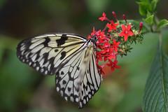 Butterfly (Bri_J) Tags: tropicalbutterflyhouse northanston sheffield southyorkshire uk yorkshire nikkon d7200 butterflyhouse butterfly