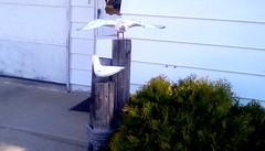 Seagulls yard decoration! (Maenette1) Tags: seagulls posts yard decoration cedarbush garage house driveway menominee uppermichigan flicker365