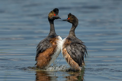 I Only Have Eyes For You (Amy Hudechek Photography) Tags: eared grebe courtship dance display bird mating colorado wildlife nature amyhudechek nikond500