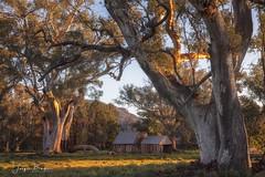 Book Keepers Hut (Jacqui Barker Photography) Tags: bookkeepershut wilpenapound oldandbeautiful oldbuildings oldtree flindersranges southaustralia australia southaustraliaoutback australianoutback oldruins goldenlight gumtree