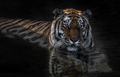 Tiger taking a dip. (Kerry711) Tags: sony a77 alpha 400mm sigma prime lens tiger big cat wild animal stripes water reflection waterfall yorkshire wildlife park doncaster southyorkshire england