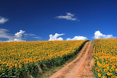 Sunflowers (Ivano Di Benedetto) Tags: girasoli sunflowers abruzzo giallo yellow