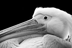 Pelican ~ Explored ~ (Sergiu Bacioiu) Tags: life wild vacation orange white black bird eye nature water monochrome animal horizontal closeup hair outdoors zoo one wings close natural outdoor head wildlife profile beak feathers waterbird pelican aquatic isolated avian pelecanus pelecanidae
