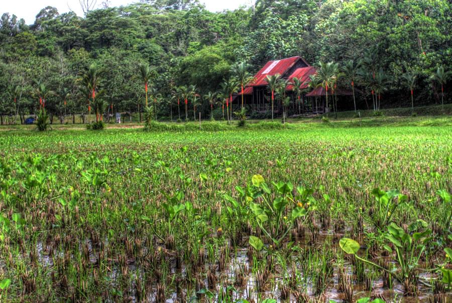 Padi Field (HDR)