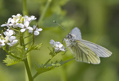Green-Viened White (Hawkeye2011) Tags: uk london nature canon butterfly wildlife insects lepidoptera leevalley greenveinedwhite pieridae hackneymarsh artogeianapi
