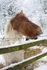 Winter horse (jillyspoon) Tags: horse snow cold canon fence snowy freeze barbedwire temperature harrogate canoneos 2010 bilton 5thjanuary