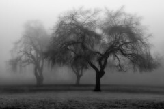 B&W Fog (HDR Cafe) Tags: park winter bw white mist canada black tree vancouver bc willow jericho flog weeping abigfave thesecretlifeoftrees bestofmywinners