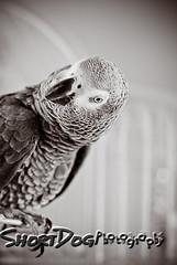 Pardon? (ShortDog Photography) Tags: nikon africangreyparrot africangrey zulu pardon 85mmf18 congoafricangrey inquisitiveparrot