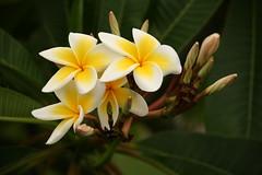 Tenderness (Nina Edelweiss) Tags: brazil flower nature fleur yellow brasil jaune canon plumeria natureza flor amarelo gelb blumme