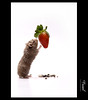 I want the best! (Faisal | Photography) Tags: white canon eos strawberry background hamster l usm f28 canonef2470mmf28lusm ef hamtaro 2470mm 50d canoneos50d faisal|photography فيصلالعلي iwantthebest dهمتارو