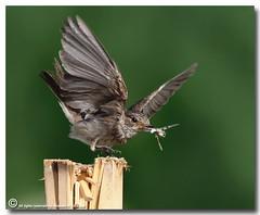 Spotted Flycatcher (ibrahem N. ALNassar) Tags: 30 canon eos n l spotted kuwait usm f56 society ef osk 30d flycatcher 400mm  naturalmente     ornithological alnassar    ibrahem