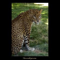 Una mirada perversa ... (Maisse) Tags: animal leopardo natura leopard felino mirada perversa valncia bioparc lleopard