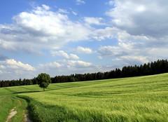 (:Linda:) Tags: sky cloud tree field germany corn village path wolke thuringia cloudysky wolkig pappel aspentree getreide espe populustremula brden bewlkterhimmel zitterpappel populustree zitterpappelpopulustree