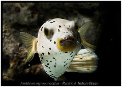 Arothron nigropunctatus_800_01 (Bruno Cortada) Tags: malawi marino mbunas cclidos sudafricanos tanganyica