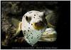Arothron nigropunctatus_800_01 (Bruno Cortada) Tags: malawi marino mbunas cíclidos sudafricanos tanganyica