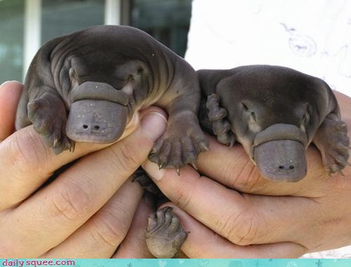 two baby platypi