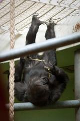 2010-01-31-11h31m41.272P2081l (A.J. Haverkamp) Tags: zoo rotterdam blijdorp gorilla dierentuin diergaardeblijdorp westelijkelaaglandgorilla nasibu httpwwwdiergaardeblijdorpnl canonef100400mmf4556lisusmlens pobfrankfurtgermany dob01042007