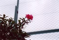 * (mie**) Tags: school flower love smile japan canon hope peace heart walk  only osaka wish eoskiss fujivenus800 ef2890mm1456ii