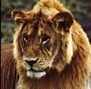 Tansania-Kenia - Serengeti - Löwenkopf,   270 (roba66) Tags: africa travel friends naturaleza nature animal nationalpark wildlife natur lion safari absolutely afrika kenia tier löwe potofgold tansania supereco flickrbestpics 100commentgroup 100commentsgroup perrrfect tansaniakenia absolutelyperrrfect flickrunitedaward amazingwildlifephotography