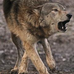 Grey Wolf (Gary Wilson แกรี่ วิลสัน) Tags: ireland dublin nature animal canon photography eos grey zoo photo wolf foto wildlife gray canine 7d lobo lupus greywolf dublinzoo canid 100400l garywilson