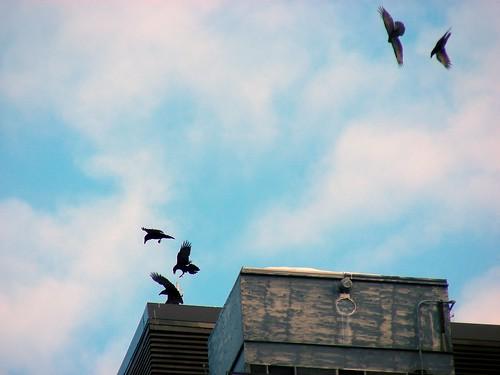 Ravens at play