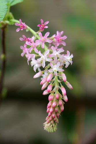 Ribes sanguineum glutinosum