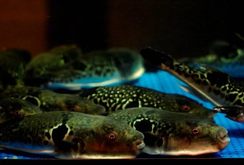 虎河魨。照片提供:廖運志