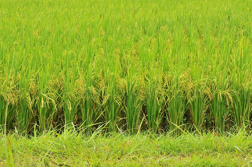 Bolivia_rice