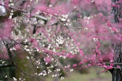 / In early spring (Marie Eve K.A. (Away)) Tags: flower tree nature japan canon spring kyoto soft branch dof bokeh 85mm plumtree planar plumblossoms  pinkwhite carlzeiss   kitanotenmangushrine  anawesomeshot pinkplumflower  whiteplumflower